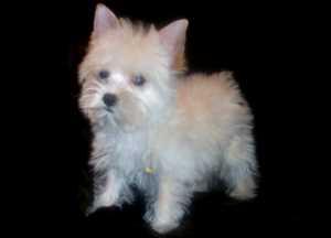 Yorkie Valley Puppies